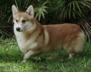 dekunst pembroke welsh corgi adult dogs breeding stock